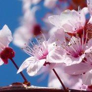 Hanami – Das Wunder der Kirschblüte